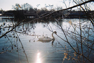 Swan Lakeの写真・画像素材[1233501]