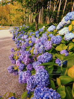 紫陽花の道の写真・画像素材[1233576]
