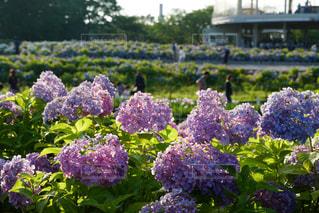 花,緑,あじさい,紫,紫陽花,flower,梅雨,Hydrangea,アジサイ
