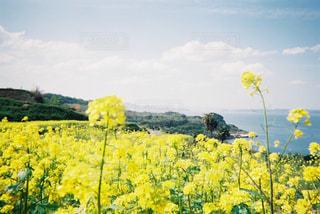 菜の花と海の写真・画像素材[1240676]