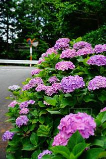紫陽花の写真・画像素材[1250755]