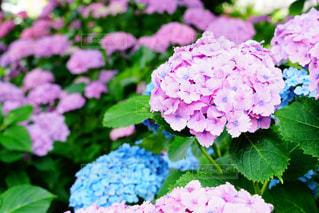 ある日の紫陽花の写真・画像素材[1250761]