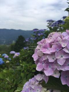 花,緑,葉,紫陽花