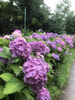 雨,あじさい,紫陽花,露,梅雨,スマホ写真