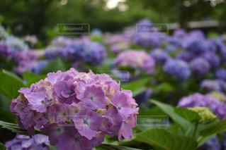 紫,紫陽花,梅雨