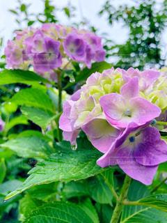 花,緑,葉,紫陽花,雨上がり,梅雨,6月,草木,フォトジェニック,雨だれ,インスタ映え