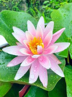 花,緑,葉,蓮,雨上がり,梅雨,6月,草木,フォトジェニック,雨だれ,インスタ映え