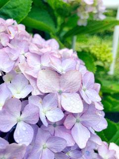 花,屋外,葉,紫陽花,梅雨,6月,草木,ガーデン,フォトジェニック,雨だれ,インスタ映え,梅雨 6月 紫陽花