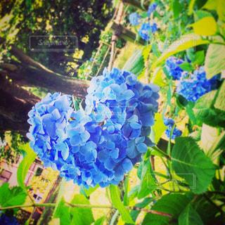 花,ハート,紫陽花,梅雨