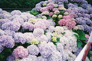 花,屋外,紫陽花,フィルム,梅雨,草木,ガーデン