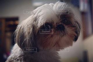 カメラを見て小さな白い犬の写真・画像素材[1225378]