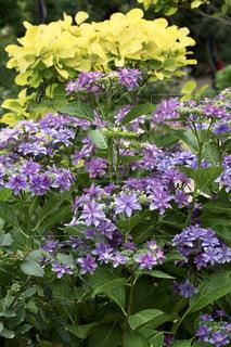 紫,レインボー,パープル,紫陽花,梅雨,アジサイ,スモークツリー,ティンカーベル,八重咲,カラーリーフ
