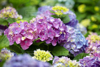 花,虹,紫,レインボー,パープル,紫陽花,ブルー,初夏,梅雨,6月,アジサイ
