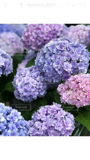 花,雨,景色,鮮やか,紫陽花,梅雨,草木
