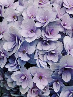 紫陽花アップの写真・画像素材[1248306]
