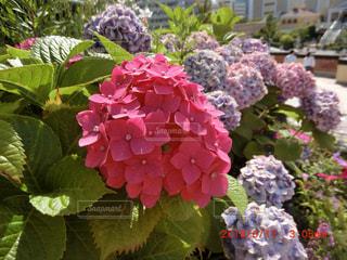 ピンク,紫陽花,梅雨,ぼやけ,四季,青色,季