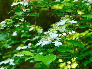 自然,花,紫陽花,梅雨,草木,生きもの