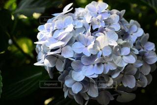 紫陽花,鎌倉