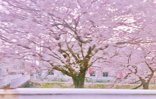 花,春,桜,ピンク,季節,花見,道端,日本,四季,さくら