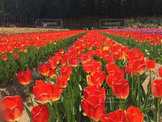 フィールドに赤い花の写真・画像素材[1230881]