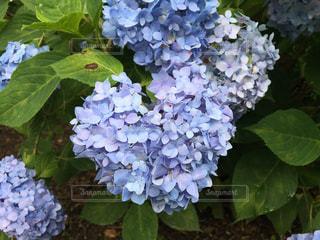 風景,花,あじさい,景色,紫陽花,写真,iphone,趣味,梅雨,アジサイ,フォトジェニック