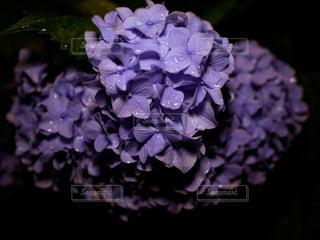 夜,雨,紫陽花,梅雨,夜撮