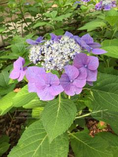 紫陽花,梅雨,6月
