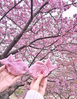 桜の中を泳ぐ2匹のたいやきの写真・画像素材[1228393]