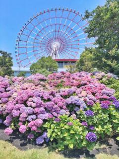 たくさんの紫陽花と観覧車の写真・画像素材[1228421]