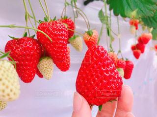 食べ物,赤,いちご,苺,フルーツ,果物,果実,おいしい,いちご狩り,秩父,食材,旬,フレッシュ,イチゴ,インスタ映え