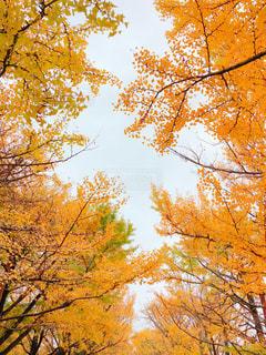 空,秋,紅葉,木,植物,黄色,曇り,イエロー,立川,色,yellow,いちょう