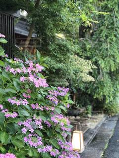 花,雨,京都,紫陽花,梅雨,japan,アジサイ