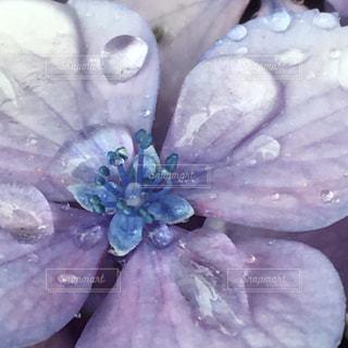 雨,あじさい,青,紫,水滴,紫陽花,梅雨