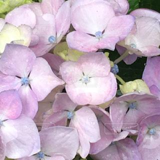 自然,雨,屋外,あじさい,紫,紫陽花,梅雨,日中