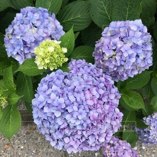 自然,風景,花,屋外,かわいい,あじさい,紫,紫陽花,リボン,キャラクター,梅雨,ミニー,ミッキー,くまさん,耳,日中,ラブリー,そっくりさん