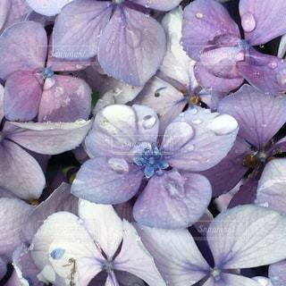 自然,風景,花,屋外,あじさい,紫,紫陽花,しっとり,梅雨,雨粒,日中