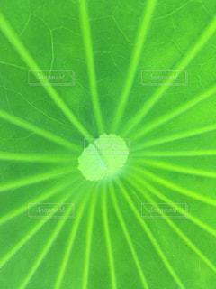 蓮の葉の写真・画像素材[1242537]