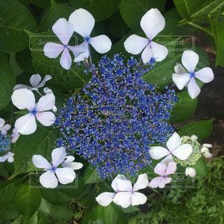 あじさい,青,紫,紫陽花,梅雨,6月,ガクアジサイ,アジサイ,すみれ色