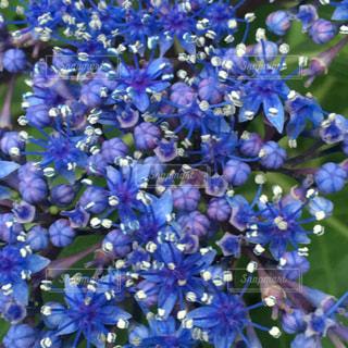 あじさい,青,紫,紫陽花,小さい,梅雨,6月,ガクアジサイ,ズーム,アジサイ,雄しべ,雌しべ,すみれ色