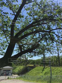 西武遊園地駅前の桜の木の写真・画像素材[1257073]