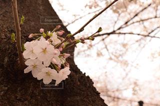 風景,桜,昼