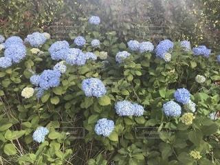 花,植物,あじさい,紫陽花,梅雨,アジサイ