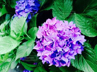 花,紫陽花