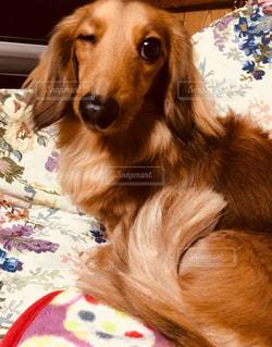 犬,動物,お部屋,部屋,室内,ペット,ソファ,愛犬,小型犬,ワンちゃん,ダックスフンド,インスタ映え