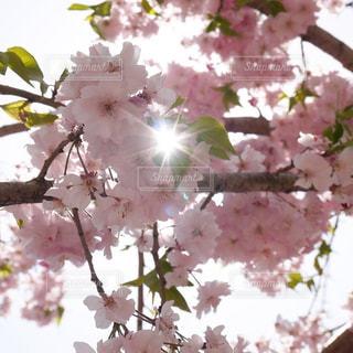 桜の写真・画像素材[1368210]