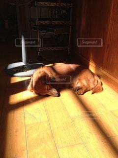 犬,屋内,室内,寝転ぶ,寝る