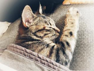 ソファの上の愛猫の写真・画像素材[1256284]