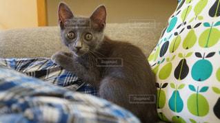 ソファの上に座ってる猫の写真・画像素材[1258219]