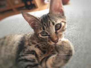 横になって、カメラを見ている猫の写真・画像素材[1258257]