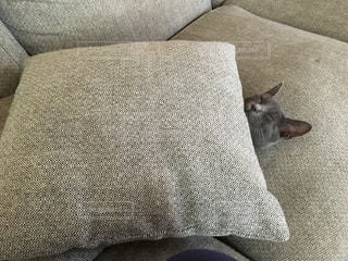 猫のかくれんぼの写真・画像素材[1258303]